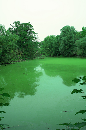 Blaualgen (makes water green not blue)